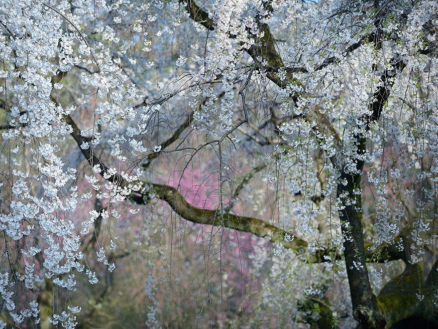 İmparatorluk Çiçekleri, Japonya